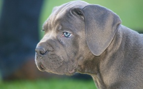 Picture face, dog, puppy, Cane Corso
