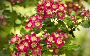Picture branch, flowering, flowers, bokeh, Hawthorn