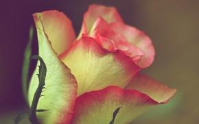 Wallpaper macro, paint, rose, petals, Bud