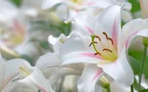 Picture Lily, beautiful, stamens, leaves, white, pistil