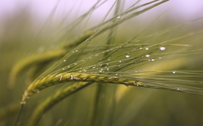 Picture field, drops, macro, spikelets, after the rain