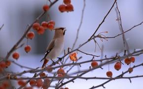Picture branches, berries, bird, bird, was spiritel