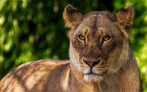 Picture look, face, cats, green, background, portrait, Leo, beauty, wild cats, lioness, pride