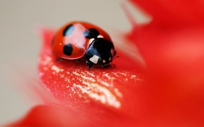 Picture flower, red, ladybug, beetle, point, petals, insect
