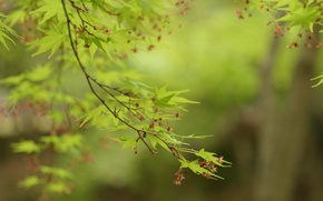 Picture greens, leaves, trees, branches, nature, green, maple, leaves