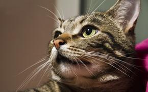Picture cat, look, grey, portrait
