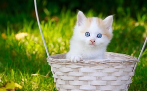 Picture look, basket, baby, kitty, blue eyes