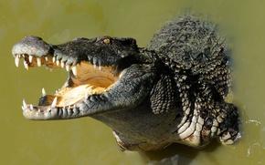 Wallpaper nature, background, crocodile