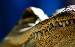 Wallpaper point, crocodile, Teeth