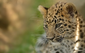 Picture cat, kitty, leopard, cub, the Amur leopard