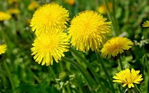 Picture macro, dandelions, yellow