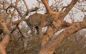 Picture jump, predator, leopard, wild cat