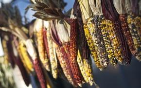 Picture macro, corn, bokeh