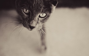 Picture Look, Cat, Grey, Face