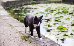 Wallpaper is, water, pond, cat