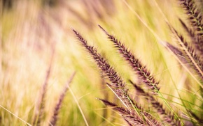 Picture grass, spikelets, bokeh