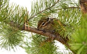 Picture sprig, Spruce, Russia, Kogalym, Squirrel