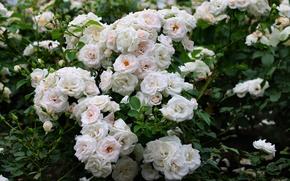 Picture white, Bush, roses