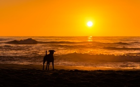 Picture sea, sunset, dog