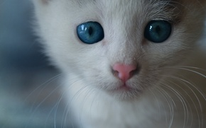 Picture cat, cat, mustache, face, muzzle, kitty, blue eyes