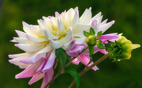 Picture flower, background, buds, Dahlia, pink and white