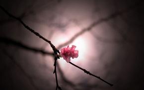 Picture flowers, pink, Wallpaper, blur, branch, wallpaper, flower, widescreen, background, macro, full screen, HD wallpapers, flower, …