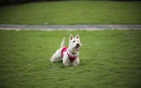 Picture grass, each, dog, grass, lawn, dog, dog, Terrier, lawn, friend, terrier