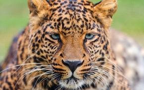 Picture mustache, look, face, leopard, leopard, beautiful, a large spotted cat, panthera pardus