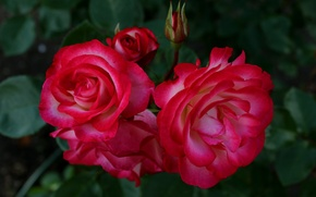 Picture red, red, Roses, rose, buds