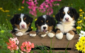Picture animals, dogs, summer, grass, flowers, nature, puppies, box, puppies, mountain dog