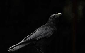 Picture background, bird, beak, Raven