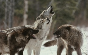 Picture pack, wolves, howl