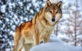 Picture winter, face, wolf, predator, fur