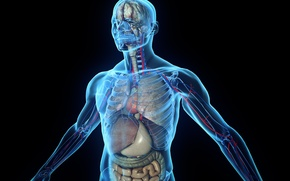 Picture skeleton, human body, organs, tissues