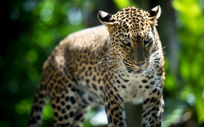 Picture beast, Leopard, Singapore Zoo