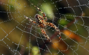 Picture Rosa, web, Spider, insect