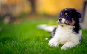Picture dog, puppy, Australian shepherd, Aussie