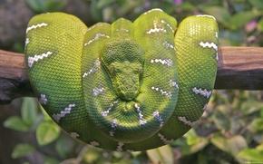 Picture viper, snake, tree, boa