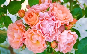 Picture roses, petals, buds