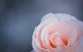 Picture flowers, tenderness, rose