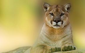 Picture look, face, predator, Puma, mountain lion
