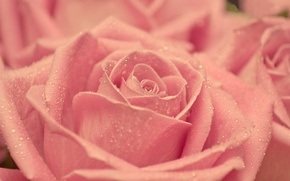 Picture drops, macro, pink, tenderness, rose, beauty, petals, blur, Bud