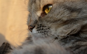 Picture eyes, grey, Cat
