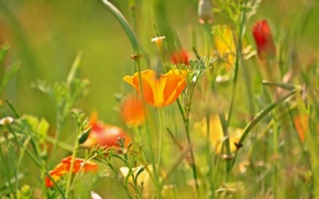 Picture grass, flowers, Mac, meadow