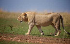 Picture predator, Leo, wild cat