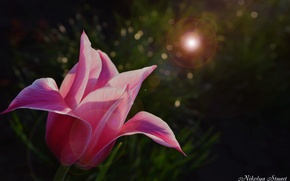 Picture flower, grass, macro, nature, pink, Tulip, Blik, Royal