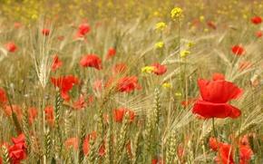 Picture field, flowers, Maki, ears