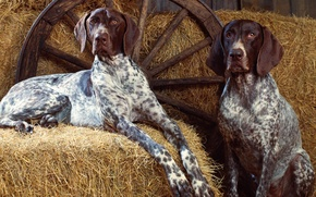 Picture Dog, Wheel, Hay, Dog, Spot, Wheel, Hay, Pointer, Pointing, Spots