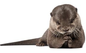Picture predator, fur, mammals, otter, otter