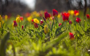 Wallpaper blur, flowers, tulips